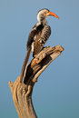 Red billed hornbill tockus erythrorhynchus perched on a branch south africa Stock Photo