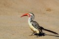 Red billed hornbill tockus rufirostris in kruger national park south africa Royalty Free Stock Photo