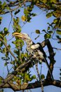 stock image of  Red-billed hornbill on a tree branch
