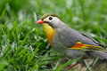 Red billed leiothrix bird looking for food in the grass Stock Images