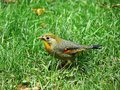 Red billed leiothrix the green grass of the Royalty Free Stock Image