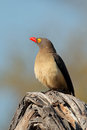 Red billed oxpecker buphagus erythrorhynchus perched on a branch south africa Stock Photo