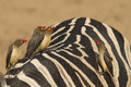 Red-billed Oxpeckers Royalty Free Stock Photo