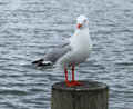 Red billed sea gull chroicocephalus scopulinus the once also known as the mackerel is a native of new zealand Stock Photos