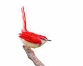Red bird on branch. Royalty Free Stock Photo