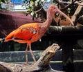 Red Ibis Bird Royalty Free Stock Photo