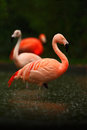 Red birds in the water. Beautiful pink big bird Caribbean Flamingo, Phoenicopterus ruber, cleaning plumage in dark green water, wi Royalty Free Stock Photo