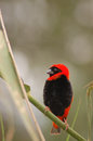 Red bishop bird a bright and black euplectes orix against a green background Royalty Free Stock Photography
