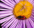 Red and black beetle on pink coloured aster Stock Image
