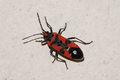 Red and black bug on the wall Royalty Free Stock Photo