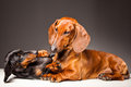 Red and black Dachshund Dogs playing on gray Stock Images