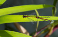 Red and black dragonfly tandem pair with male large damselfly Royalty Free Stock Photography