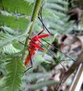 Red and black fire bug closeup Royalty Free Stock Photo