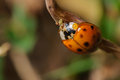 Red and black ladybug lady beetle Stock Images