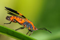 Red and black milkweed bug on a green leaf Royalty Free Stock Images