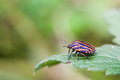 Red black shield bug. insect Pentatomidae on a green leaf. macro view, shallow depth of field, selective focus Royalty Free Stock Photo