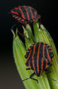 Red and black striped minstrel bug vertical macro pentatomidae graphosoma lineatum Stock Photography