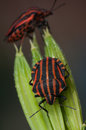 Red and black striped minstrel bug vertical macro pentatomidae graphosoma lineatum Stock Images