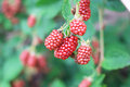 Red Blackberry Royalty Free Stock Photo
