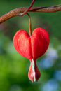 Red bleeding heart flower a vivid in the spring perennial garden Stock Images