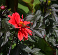 Red Blooming Dahlia With a Dark Green Background Royalty Free Stock Photo