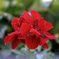 Red blooming geranium flowe