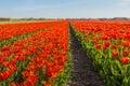Red blooming tulip bulbs in a Dutch field