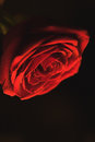 Red blossoming rose on a black background
