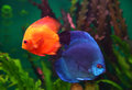 Red and blue discus fish Royalty Free Stock Photo