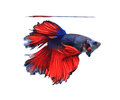 Red and blue half moon butterfly  siamese fighting fish, betta f Royalty Free Stock Photo