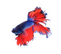 Red and blue half moon butterfly  siamese fighting fish, betta fish Royalty Free Stock Photo