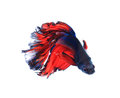 Red and blue half moon butterfly  siamese fighting fish, betta Royalty Free Stock Photo