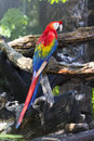 Red and blue macaw Royalty Free Stock Photo