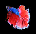 Red and blue siamese fighting fish, betta fish isolated on black
