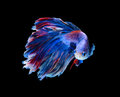 Red and blue siamese fighting fish, betta fish isolated on black background.