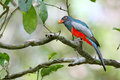 Red & blue tropical bird eating a berry Royalty Free Stock Photo