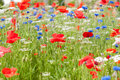 Red and blue wildflowers closeup wildflower in green meadow Royalty Free Stock Images