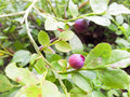 Red blueberries uncultivated towards fresh green background Stock Photo