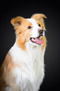 Red border collie on the dark background smart Stock Image