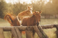 Red border collie dog and horse are friends at sunset in summer Stock Images