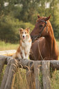 Red border collie dog and horse together at sunset in summer Royalty Free Stock Photos