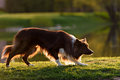 Red border collie dog  in a meadow, summer Royalty Free Stock Photo