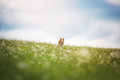 Red border collie dog running in a meadow Royalty Free Stock Photo