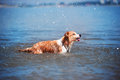 Red border collie running on a beach Royalty Free Stock Photo