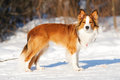 Red border collie standing on the snow in winter Royalty Free Stock Photo