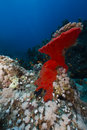 Red boring sponge in the red sea Royalty Free Stock Images