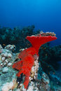 Red boring sponge in the red sea Stock Image