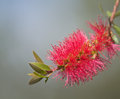 Red bottle brush callistemon flower tree Stock Photo