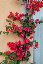 Red Bougainvillea Creeper At A...
