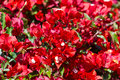 Red bougainvillea Royalty Free Stock Photo